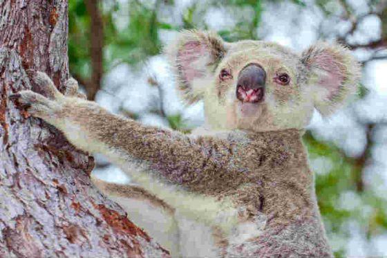 Don't Cuddle a Koala