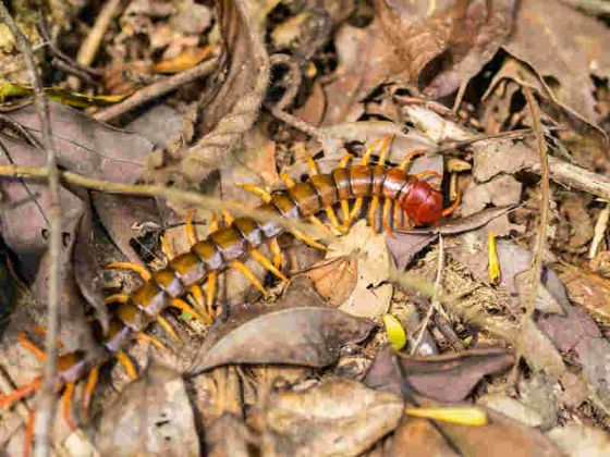 Centipedes pack quite a bite, so definitely keep clear of the multi-limbed insect.